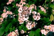 kleine Rosenblüten4