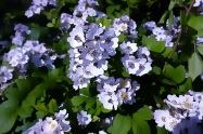 kleine Rosenblüten5