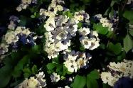 kleine Rosenblüten6